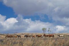 Лошади Sumba, Индонезия Стоковое Фото