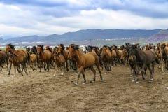 Лошади Yilki на горе Стоковая Фотография