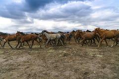 Лошади Yilki на горе Стоковые Фото