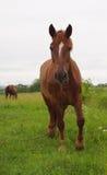Лошадь дальше к лужку Стоковые Фотографии RF