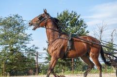 Лошадь багги Амишей Стоковая Фотография