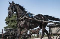 Лошадь багги Амишей Стоковые Фото