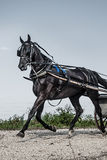 Лошадь багги Амишей Стоковые Изображения