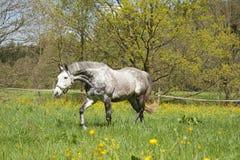 Лошадь бежит свободно на луге, красивом mildew яблока Стоковая Фотография