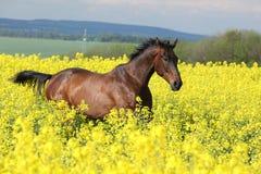 Лошадь Брайна бежать в желтом поле сурепки Стоковое Фото