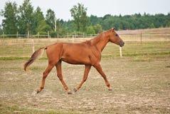 Лошадь Брайна бежать на поле Стоковая Фотография RF