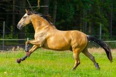 Лошадь Брайна бежит сверх зеленая верба стоковое изображение rf