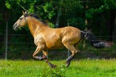 Лошадь Брайна бежит сверх зеленая верба стоковые фотографии rf