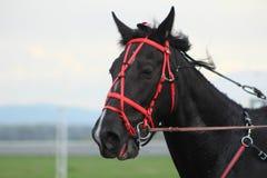 Лошадь Брайна в гоночном треке Стоковые Фотографии RF