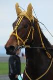 Лошадь Брайна в гоночном треке Стоковое Изображение RF