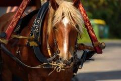 Лошадь Брайна в конце-вверх проводки Стоковое Изображение