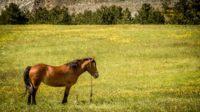 Лошадь Брайна в поле в Zlatibor Стоковое Изображение RF