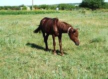 Лошадь Брайна в поле ` s деревни стоковые фото