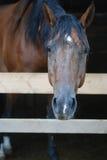 Лошадь Брайна в стойле Стоковое Фото