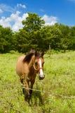 Лошадь Брайна в траве Стоковые Фото
