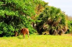 Лошадь Брайна женская Стоковое Фото
