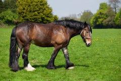 Лошадь Брайна идя на поле Стоковое фото RF