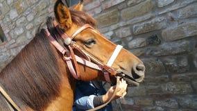 Лошадь Брайна идя с предпринимателем Стоковое Изображение