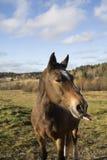 Лошадь Брайна кладя вне свой язык Стоковое фото RF