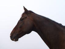 Лошадь Брайна на paddock Стоковые Фото