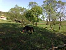 Лошадь Брайна пася траву стоковые фотографии rf