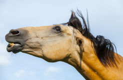 Лошадь Брайна показывает его зубы стоковое фото rf