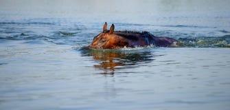 Лошадь Брайна плавает в пруд стоковое фото rf