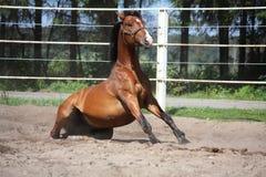 Лошадь Брайна сидя на том основании Стоковое Фото