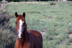 Лошадь Брайна с белой нашивкой на носе Стоковые Изображения RF