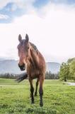 Лошадь Брайна с колоть ушами и Swishing кабелем Стоковая Фотография