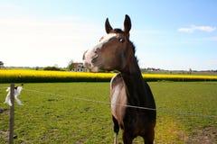 Лошадь Брайна Стоковые Изображения