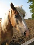 Лошадь Брайна Стоковая Фотография RF