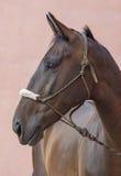 Лошадь Брайна Стоковое Изображение RF