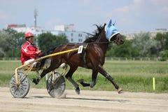 Лошадь во время гонки проводки Стоковые Фотографии RF