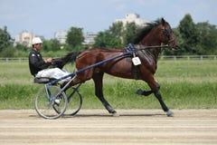 Лошадь во время гонки проводки Стоковое Изображение RF