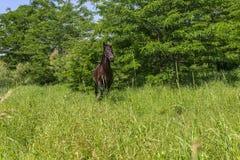 Лошадь выведенная из-за деревьев Стоковое Фото