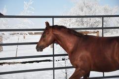 Лошадь в зиме Стоковые Фотографии RF