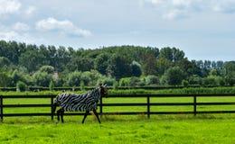 Лошадь в маскировке зебры в зеленом луге Стоковые Фото