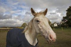 Лошадь в пальто в обрабатываемой земле Стоковое фото RF