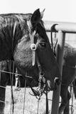 Лошадь в покое Стоковое Изображение