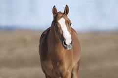 Лошадь в поле Стоковые Изображения RF