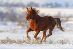 Лошадь в снежке стоковые изображения rf