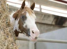 Лошадь в стойле Стоковые Фото