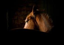 Лошадь в темноте стоковые изображения rf