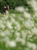 Лошадь в цветках Стоковые Изображения RF