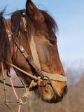 Лошадь в Черногории Стоковое Фото