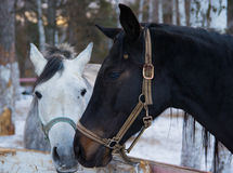Лошадь влюбленности Стоковые Изображения