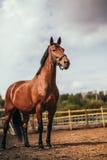 Лошадь в paddock, Outdoors, всадник стоковые изображения