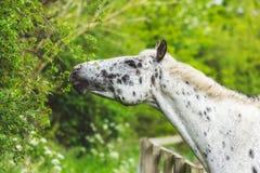 Лошадь есть от изгороди Стоковые Изображения RF