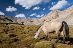 Лошадь есть траву в гималайской долине, Ladakh, Индии Стоковая Фотография RF